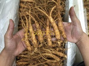 nhân sâm tươi hàn quốc nhập khẩu từ saigonsava