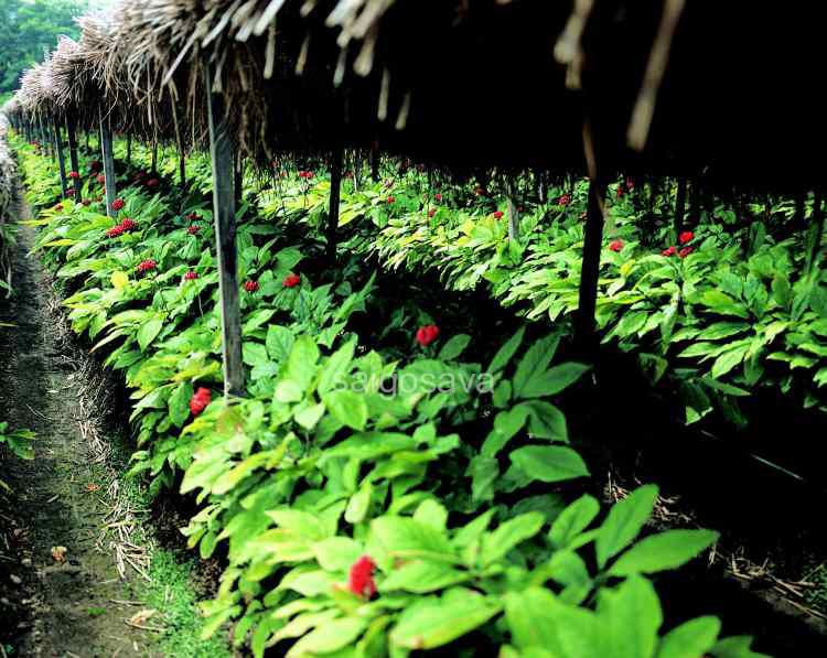 vườn trồng nhân sâm tại hàn quốc