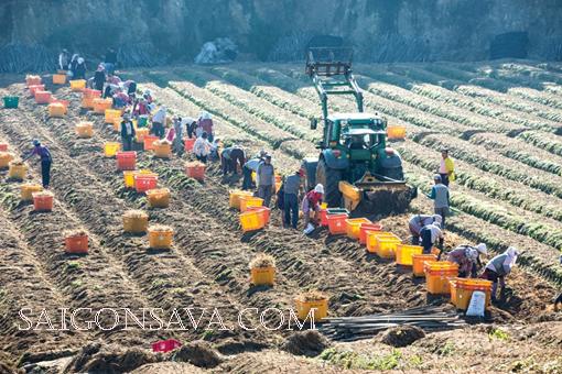 Nhân sâm được những người nông dân trồng và chăm sóc