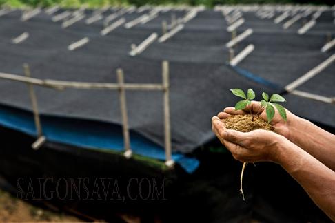 Nhân sâm được trồng trong cánh đồng có bạt che