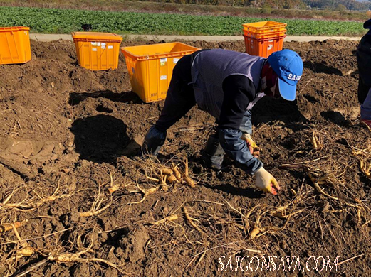Người nông dân tìm kiếm nhân sâm dưới đất