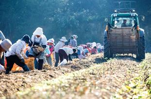 Quy trình thu hoạch Nhân Sâm tươi tại Hàn Quốc