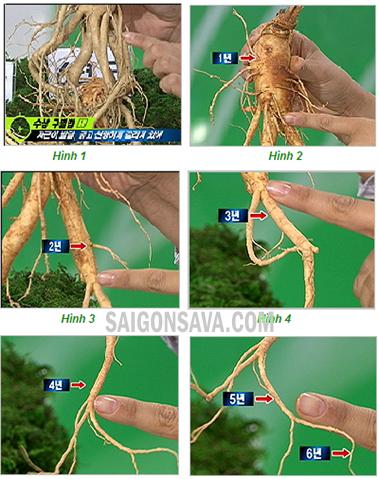 Nhận biết độ tuổi của nhân sâm dựa vào đốt của rễ sâm